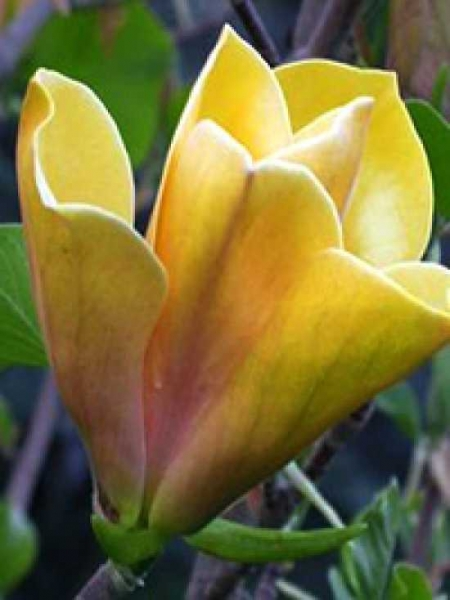 Magnolia 'Sunsation' / Magnolie 'Sunsation'