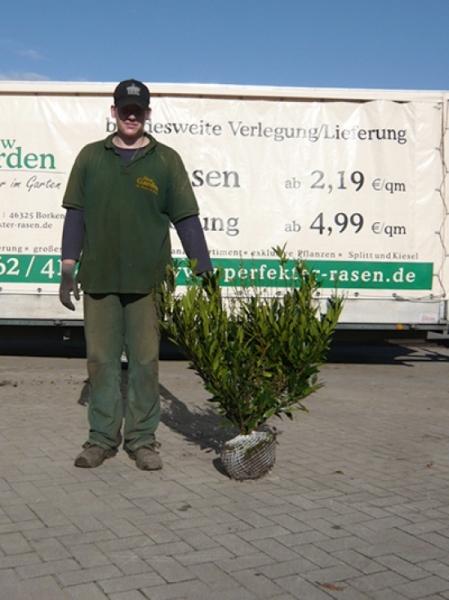 Prunus laurocerasus 'Otto Luyken' / Kirschlorbeer 'Otto Luyken' 60-80 cm mit Ballierung