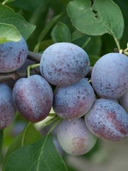 Prunus domestica 'Priesterkes' / Pflaume 'Priesterkes'