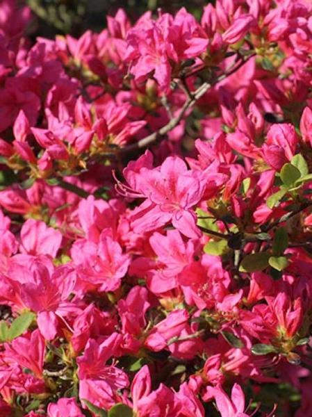 Rhododendron obtusum 'Rosalind' / Japanische Azalee 'Rosalind'