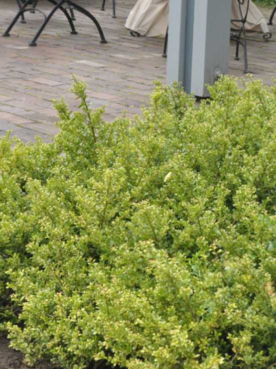 ilex crenata 39 stokes 39 zwerg bergilex 39 stokes 39 g nstig kaufen baumschule new garden. Black Bedroom Furniture Sets. Home Design Ideas