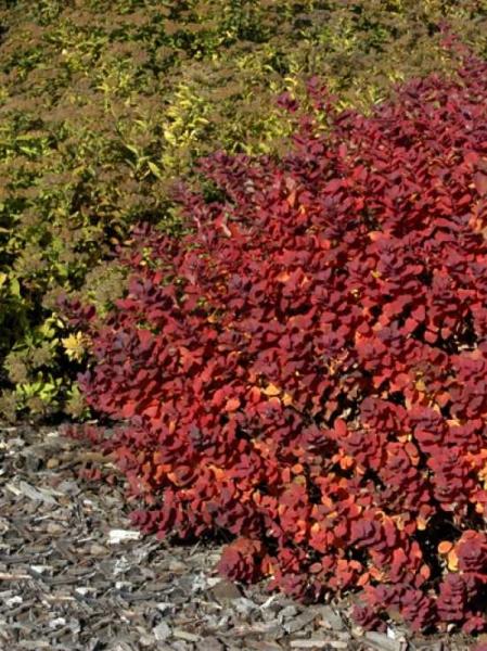Spiraea betulifolia / Birkenblättriger Spierstrauch