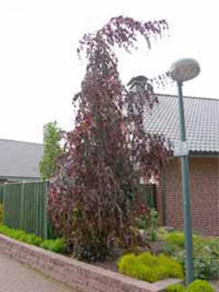 Fagus sylvatica 'Purple Fountain' / Rote Hängebuche / Rote Trauerbuche