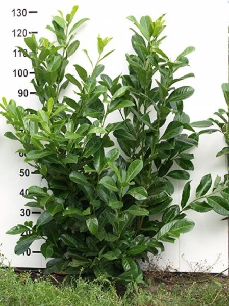 Prunus laurocerasus 'Novita' / Kirschlorbeer 'Novita' 100-125 cm mit Ballierung