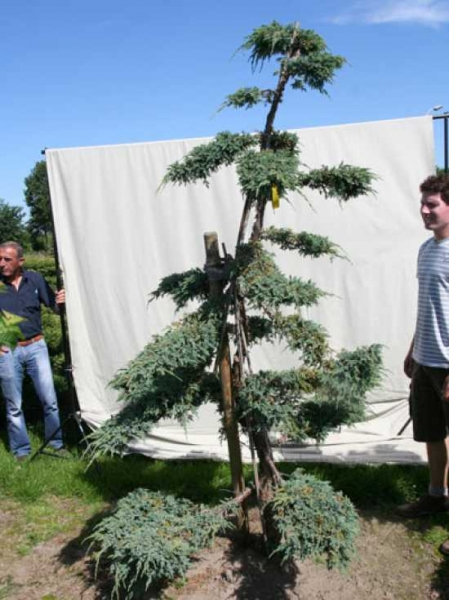 Juniperus squamata 'Blue Carpet' H: 250 cm B: 170 cm / Garten-Bonsai (306103)