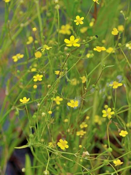 Ranunculus flammula / Brennender Hahnenfuß / Flammender Hahnenfuß