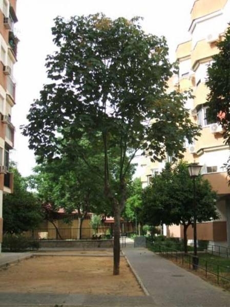 Sterculia platanifolia / Phönixbaum