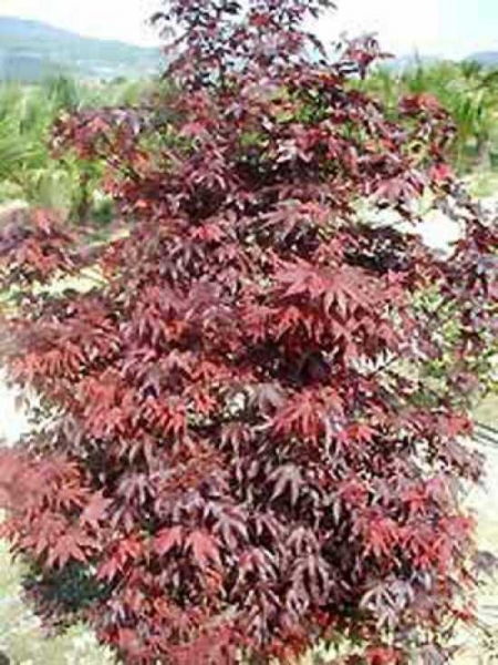 Acer palmatum 'Fireglow' / Roter Fächerahorn / Japanischer Ahorn