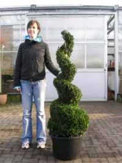 Buxus sempervirens 'Spirale' / Buchsbaum-Spirale