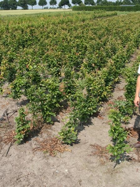 Carpinus betulus / Hainbuche 80-100 cm wurzelnackt