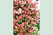 Photinia_red_robin_blatt_694