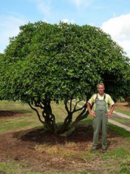 Rhododendron catawbiense 'Boursault' / Rhododendron 'Boursault' (Schirmform)