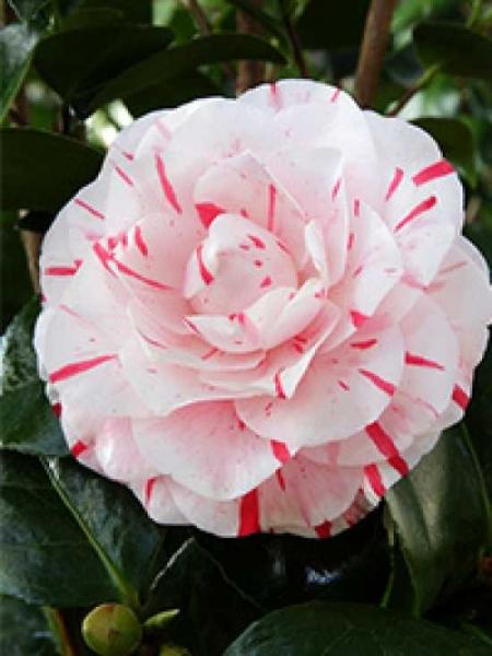 Camellia japonica 'Lavinia Maggi' / Japanische Kamelie 'Lavinia Maggi'
