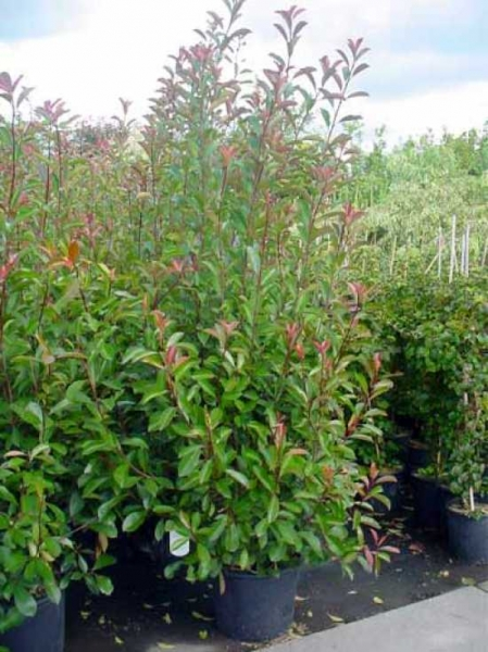 Photinia fraseri 'Red Robin' / Glanzmispel 175-200 cm im 35-Liter Container