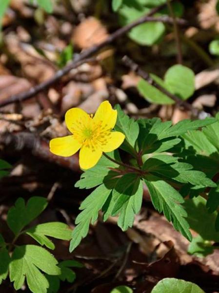 Anemone ranunculoides / Gelbes Buschwindröschen