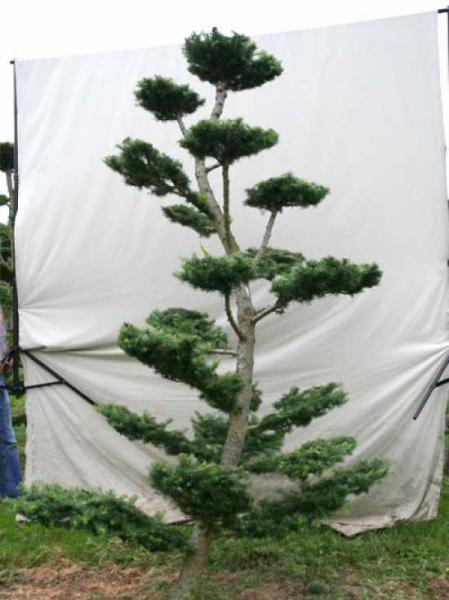 Larix decidua H: 300 cm B: 190 cm / Garten-Bonsai (801104)
