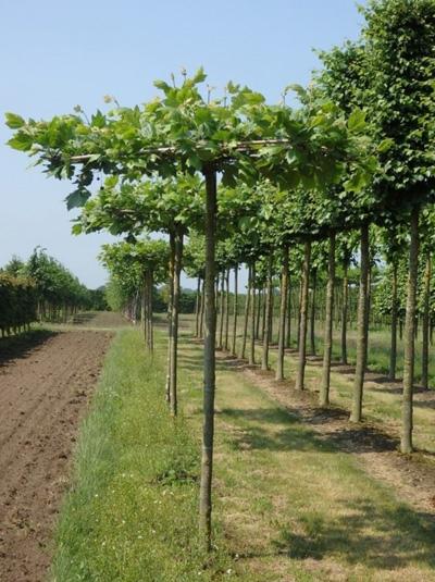 Platanus acerifolia 'Dachform/Sternform' / Platanus acerifolia 'Dachspalier'  / Dach-Platane