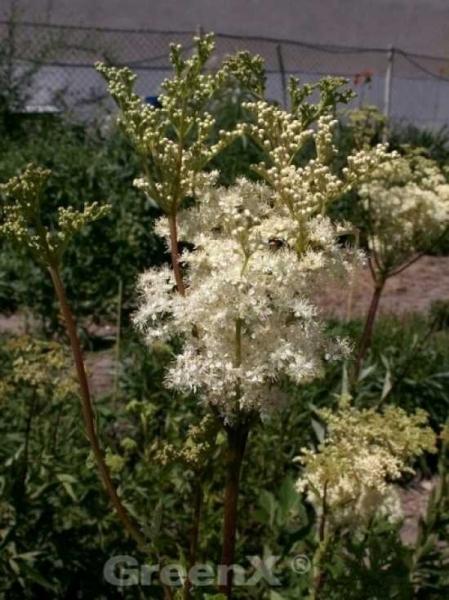Filipendula ulmaria / Sumpf-Mädesüß