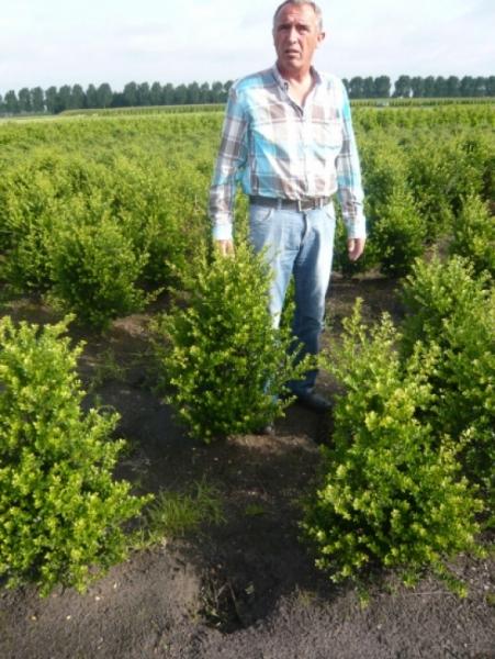 Ilex crenata 'Green Hedge' / Kleinlaubige Japan-Hülse 'Green Hedge' 60-80 cm mit Ballierung