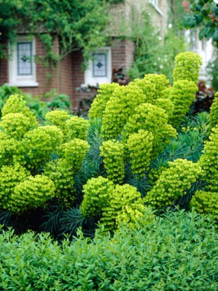 Euphorbia characias ssp. wulfenii / Mittelmeer-Wolfsmilch