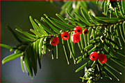 Taxus-baccata-nadel