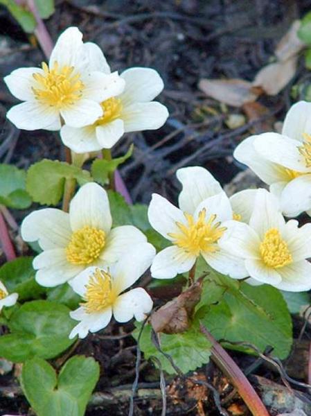 Caltha palustris var. alba / Weißblühende Sumpf-Dotterblume