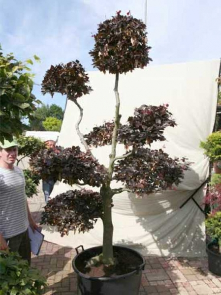Fagus sylvatica 'Purpurea' H: 250 cm B: 140 cm / Garten-Bonsai (0441346)
