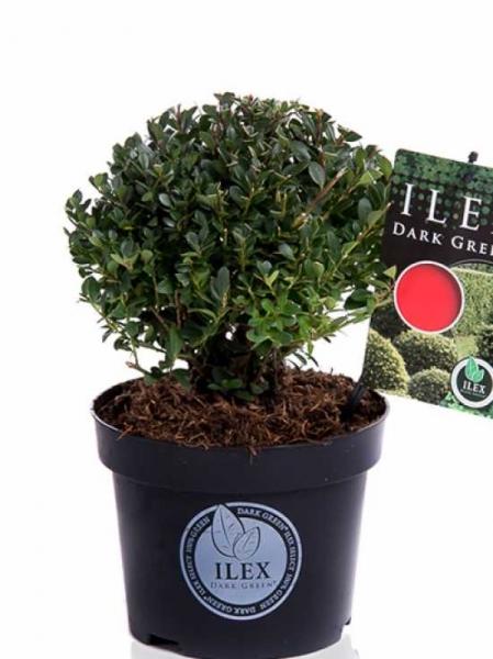 Ilex crenata 'Dark Green' Kugel / Buchsblättrige Japanische Hülse 'Dark Green' Kugel 15-20 cm Container