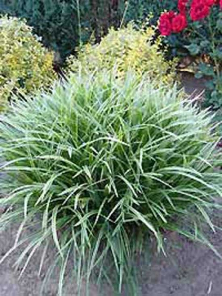 Carex morrowii / Immergrüne Japansegge