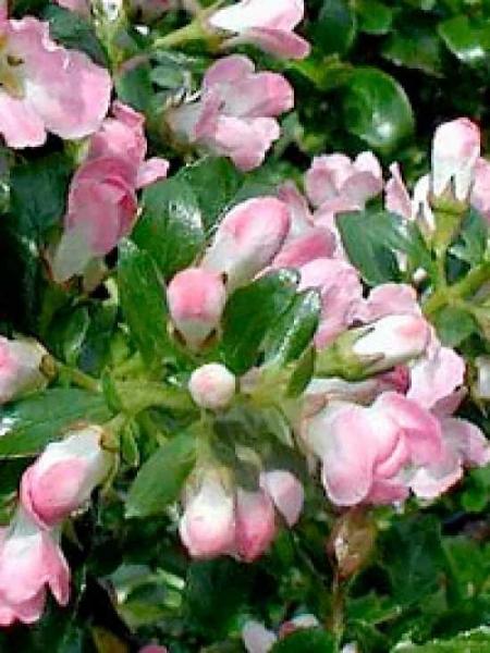 Escallonia 'Apple Blossum' / Escallonie 'Apple Blossum'