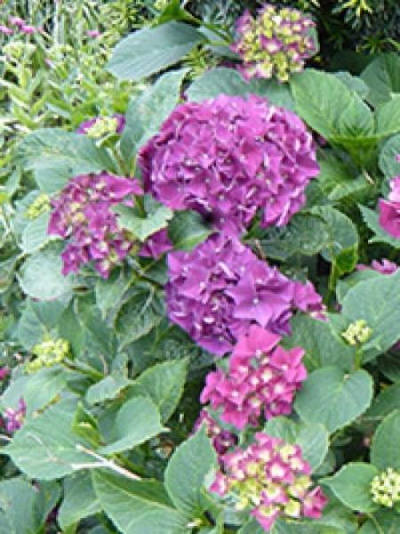 Hydrangea macrophylla 'Marie Claire' / Bauern-Hortensie 'Marie Claire'