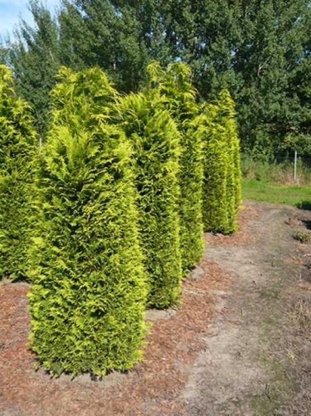 Chamaecyparis lawsoniana 'Ivonne' / gelbe Scheinzypresse 'Ivonne'