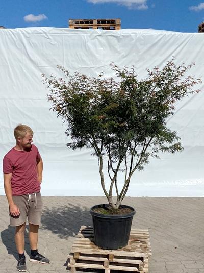 Acer palmatum 'Linearilobum' / Japanischer Fächerahorn 'Linearilobum' 200-250 cm (1211)