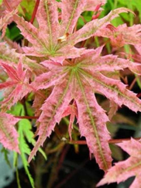 Acer palmatum 'Phoenix' / Japanischer Ahorn / Fächerahorn 'Phoenix'