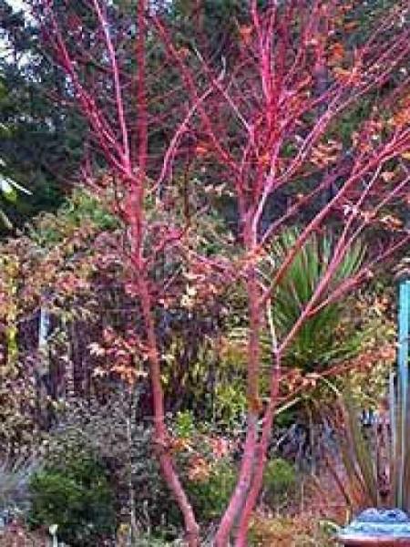 Acer palmatum 'Eddisbury' / Fächer-Ahorn 'Eddisbury' / Japanischer Ahorn