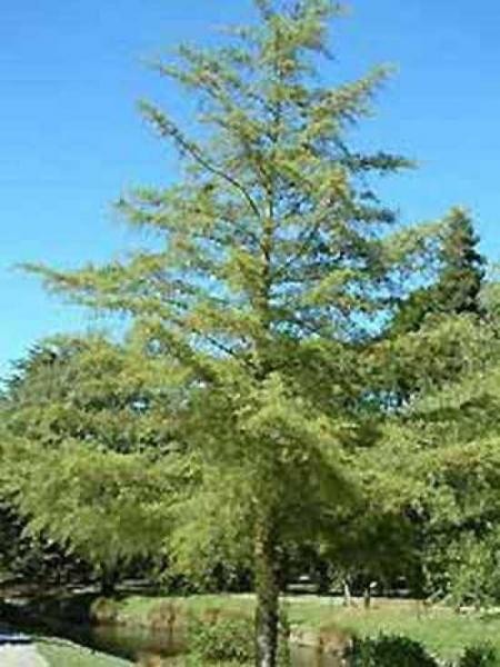 Alnus glutinosa 'Imperialis' / Bambus-Erle