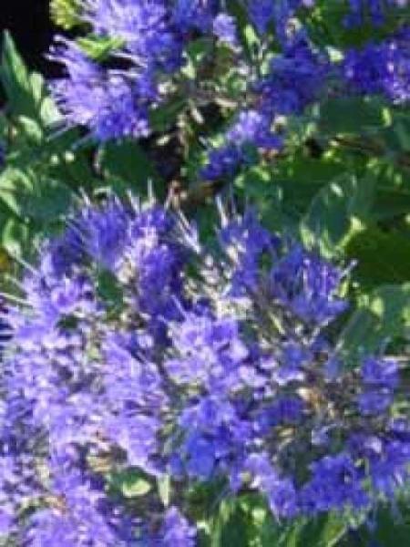 Caryopteris clandonensis 'Kew Blue' / Bartblume 'Kew Blue'