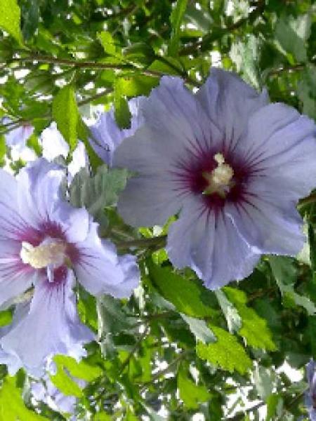 Hibiscus syriacus 'Coelestis' / Garten-Eibisch 'Coelestis'