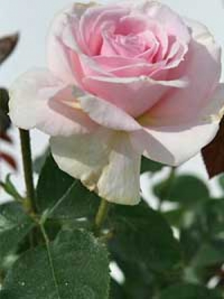 Rosa 'A Whiter Shade of Pale ®' / Stammrose 'A Whiter Shade of Pale'