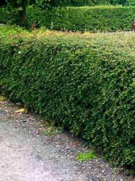 Cotoneaster franchetii / Franchets Zwergmispel
