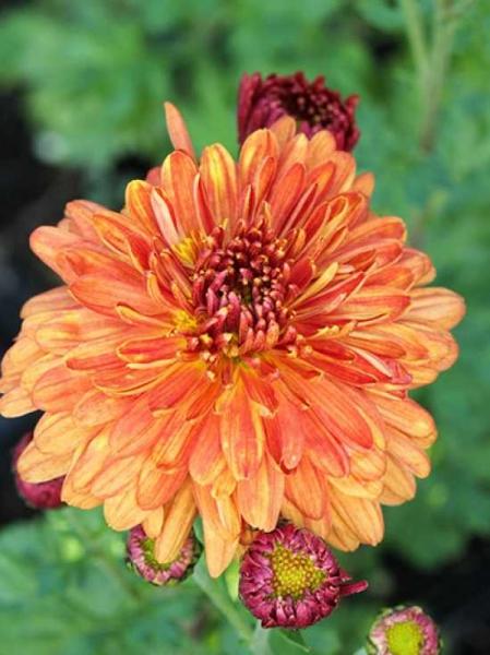 Chrysanthemum hortorum 'Bronzeteppich' / Winteraster 'Bronzeteppich'