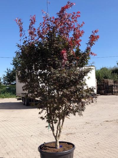 Acer palmatum 'Atropurpureum' / Roter Fächerahorn 300-350 cm (546805)