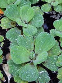 freischwimmende Wasserpflanze