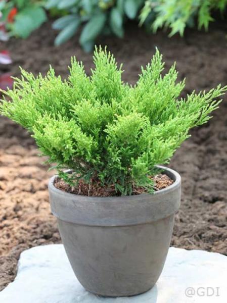 Juniperus horizontalis 'Andorra Compact' / Teppichwacholder 'Andorra Compact'