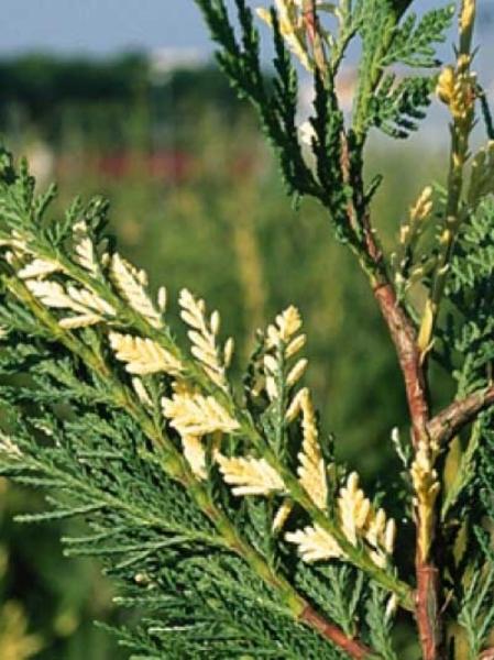 Cupressocyparis leylandii 'Variegata' / weißbunte Leyland-Zypresse
