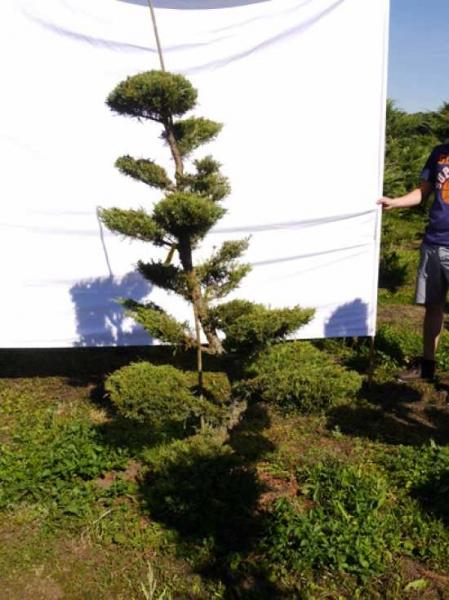 Juniperus media 'Hetzii' H: 180 cm B: 110 cm / Garten-Bonsai (301550)