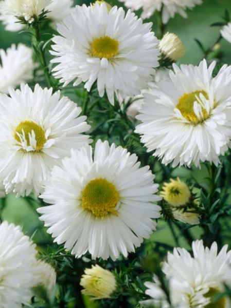 Aster novi-belgii 'White Ladies' / Glattblatt-Aster