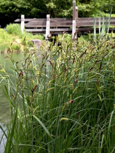 Carex riparia / Ufer-Segge