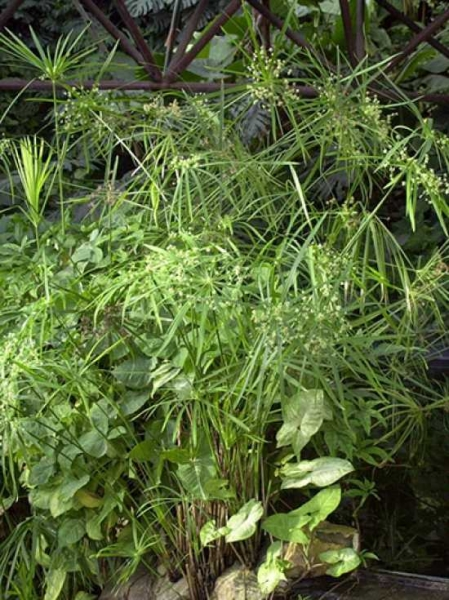 Cyperus alternifolius / Zyperngras