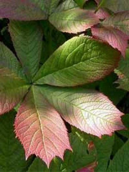 Rodgersia aesculifolia / Kastanienblättriges Schaublatt